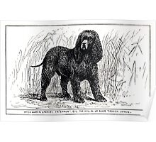 All about dogs a book for doggy people Charles Henry Lane 1900 0097 Irish Water Spaniel_jpg Poster