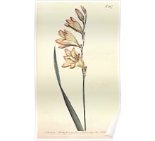 The Botanical magazine, or, Flower garden displayed by William Curtis V13 V14 1799 1800 0129 Gladiolus Lineatus Pencilled Corn Flag Poster