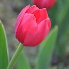 Tulip (3) by nicolaMY