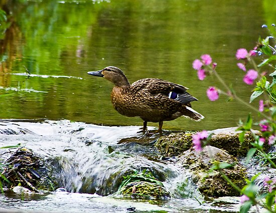 Mallard  by Trevor Kersley