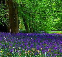 Bluebell Wood - Thorpe Perrow #1  (Spring) by Trevor Kersley