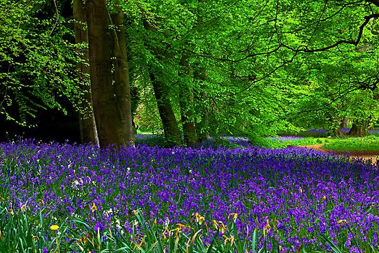 Bluebell Wood - Thorpe Perrow #1  (Spring) by Trevor Kersley