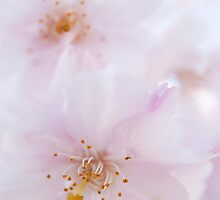 Delicate Blossoms: Spring Cherries by Skye Hohmann