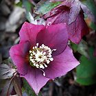 The Christmas Rose by A Smith