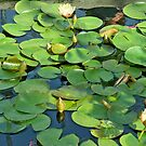 Spring Lily Pads by Diane Trummer Sullivan