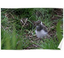 Northern Lapwing Chick Poster
