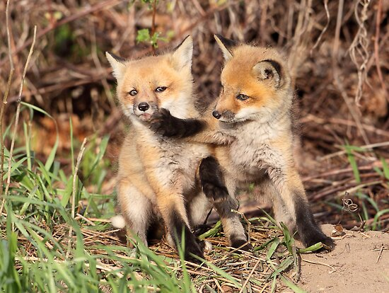 Fox Fight, Fox Fight!! by Gary Fairhead