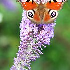 Peacock on a Buddleia by Rob Fenn
