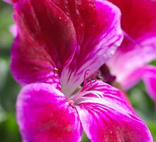Pink Pelargonium by Marko Palm