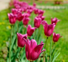 Pink tulips by igorsin
