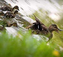 Ducks Runaway by Sergey Bezberdy