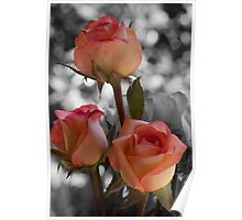 Apricot Roses with Black and White bacground Poster