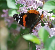 Butterfly on Lilac by John Easterhouse