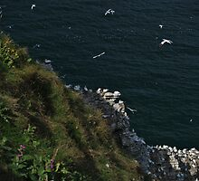 Gannets by WatscapePhoto