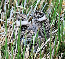 Lapwing Chicks -  Vanellus vanellus by Lindamell