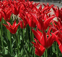 Red tulips by rasim1