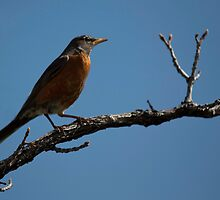 Robin by Belle Farley