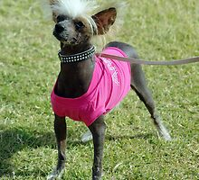 CHINESE CRESTED ALL DRESSED UP by Helen Akerstrom Photography