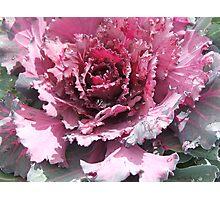 Cabbage (6457) Photographic Print