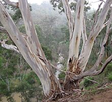 Gum Trees on the banks of the Plenty River by DianneLac