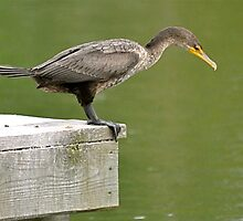 Double-crested Cormorant by Monte Morton