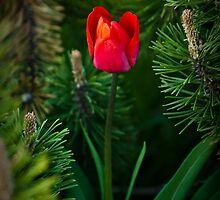 Evergreen Red by Charles Plant