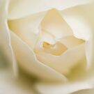 White Rose by Melina Roberts
