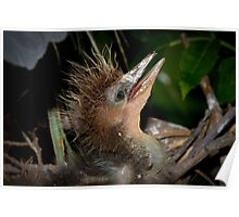Tricolored Heron Chick Poster