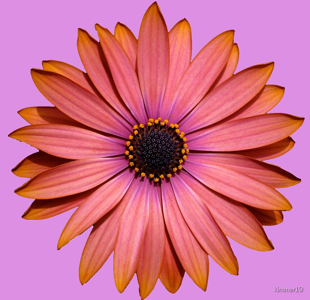 African Daisy by kimmer19