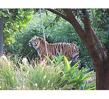 Tiger (6519) Photographic Print