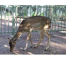 Deer (6527) Photographic Print
