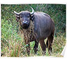 Female Buffalo With Necklace Poster