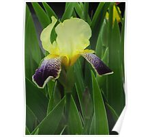 Two Toned Iris Poster