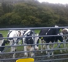 Angry Cows in Wales by RooneyA