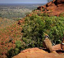 Kings Canyon - Spinifex Pigeons by Bartt