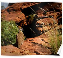 Kings Canyon - Spinifex Pigeon Poster