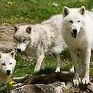Arctic Trio by Sean McConnery