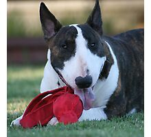 Phil a beautiful english bull terrier Photographic Print