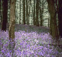 Among The Bluebells by Nigel Finn