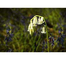 Albino Bluebell Photographic Print