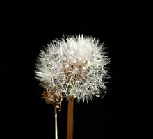 Dandelion by Hardabit