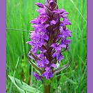 Dactylorhiza maculata by ©The Creative  Minds