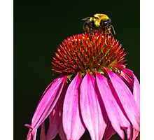 BUMBLEBEE ON PURPLE CONE FLOWER Photographic Print