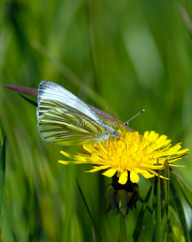 Green-veined White -  	Pieris napi - Butterfly by Moonlake