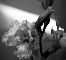 White Iris #3 in Black and White by G. Patrick Colvin