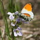 British Butterflies by John Keates