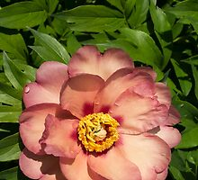 Exotic Beauty - Unusual Peony Basking in the Sunshine - a Vertical View by Georgia Mizuleva