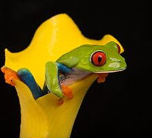 Red Eyed Tree Frog by Brian Avery