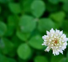 Clover  by molicophoto