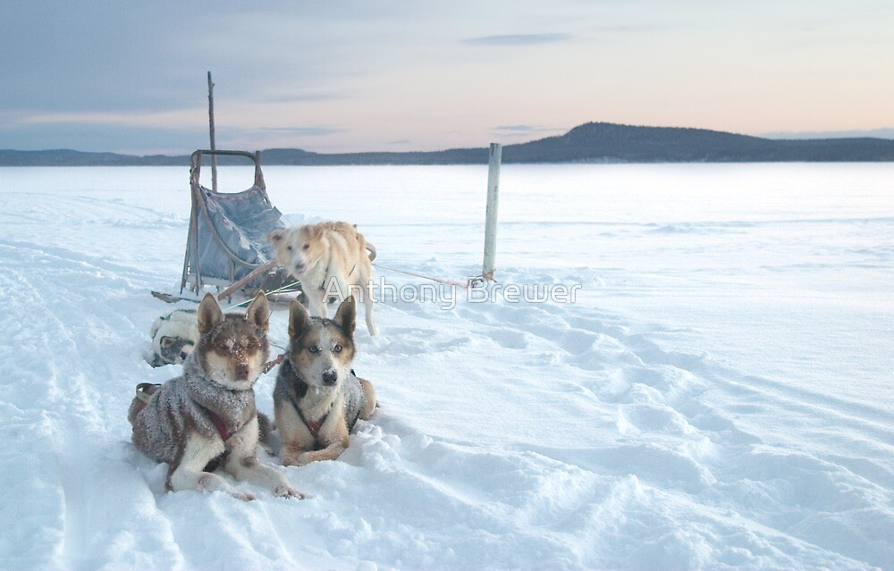 The dailyanimals dog-sled team by Anthony Brewer